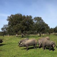 cerdo iberico en montanera, cortador de jamón profesional en cáceres eventos bautizos, bodas, comuniones, cumpleaños.